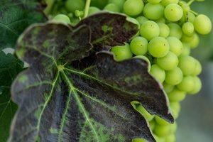 Grape Marcarini