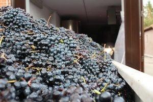 Grapes - Cantina Marsaglia