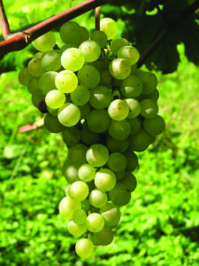 Grapes- Credits Bottega Spa (1)