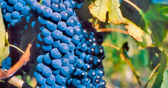 Vineyard tours - Credits Firenzo Turismo