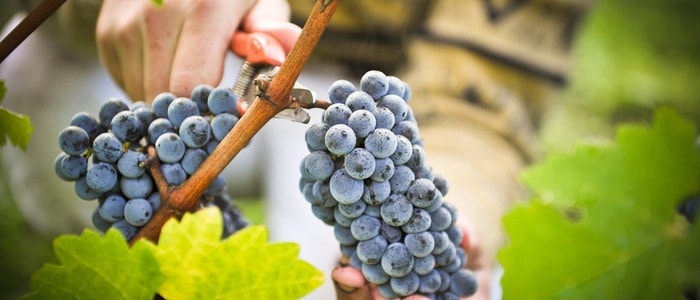 Harvest tasting and tours- Credits Pape Clement