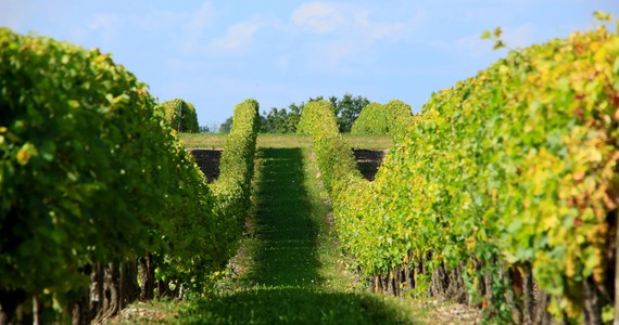 Cognac tour - vignes - 7205@Crédits BRUNET Jean-Claude Charente Tourisme (1)