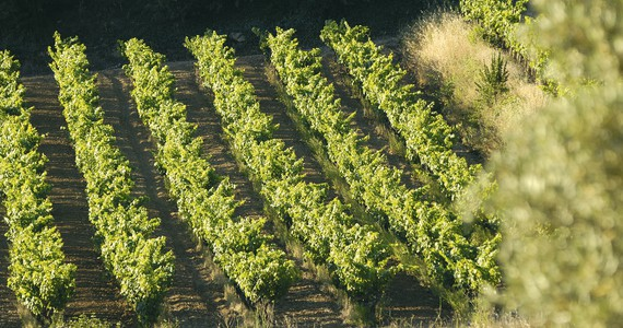 Cassis wine tour - vignes-Copyright Eliophot - Aix en Provence (vineyards of Bandol)