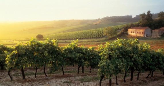Cognac tour - vignes